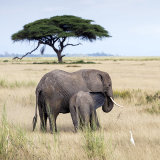 Elephants, Amboseli 3
