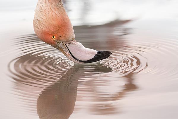 Flamingo, Slimbridge