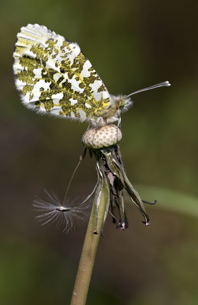Greater marbled butterfly