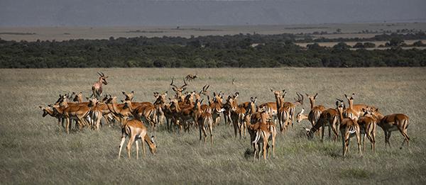 Impala, Masai Mara