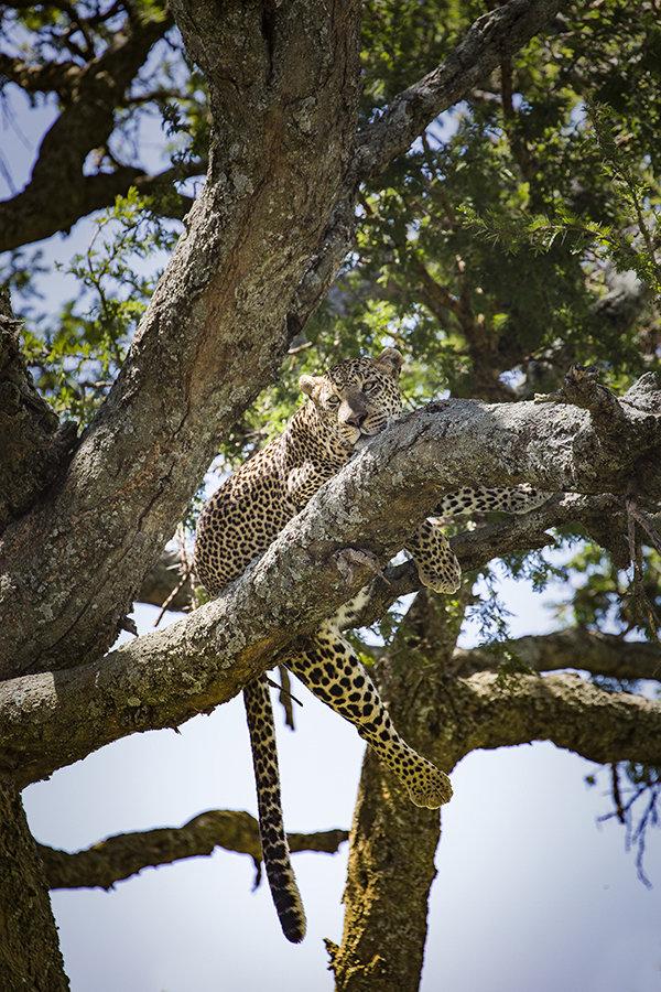 Leopard in tree, Serengeti