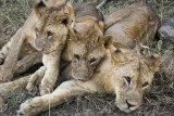 Lion cubs, Nakuru