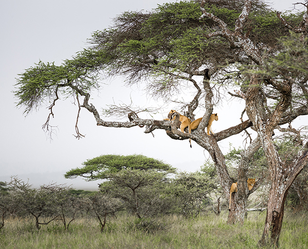 Lions in tree, Serengeti