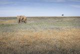 Lone elephant, Masai Mara