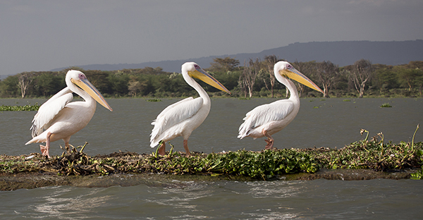 Pelicans, Lake Naivasha, Kenya