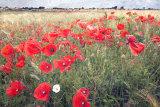 Poppies in barley 2, Ile de Re