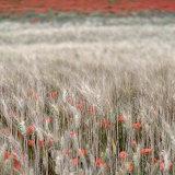Poppies in barley 1, Ile de Re
