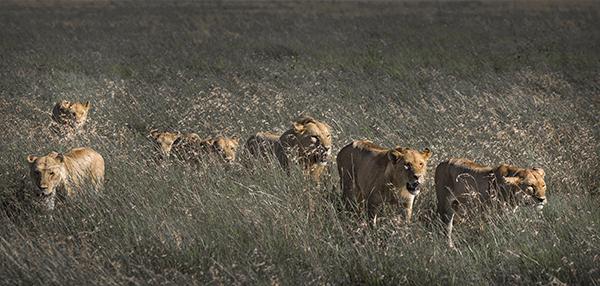 Pride of lions, Serengeti