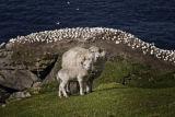 Shetlands 9
