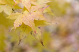 Autumn, Westernbirt Arboretum 1