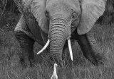 Young elephant, Amboseli