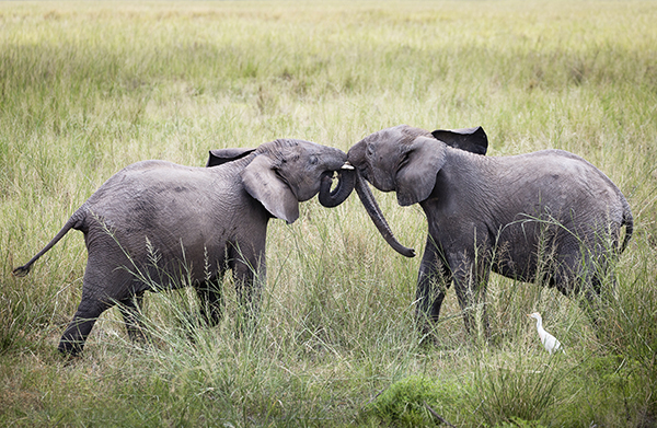 Young elephants, Amboseli