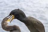 Young shag feeding, Farne Islands