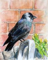 Young Jackdaw by Gillian Impey - WC pencils & WC