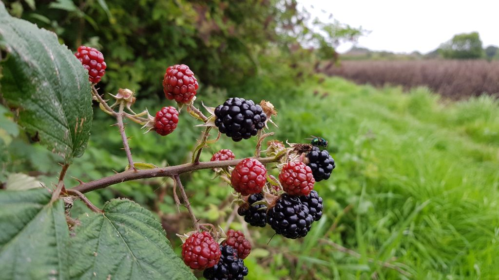 Foraging for Hedgerow Jam