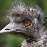 Emu's Bad Hair Day