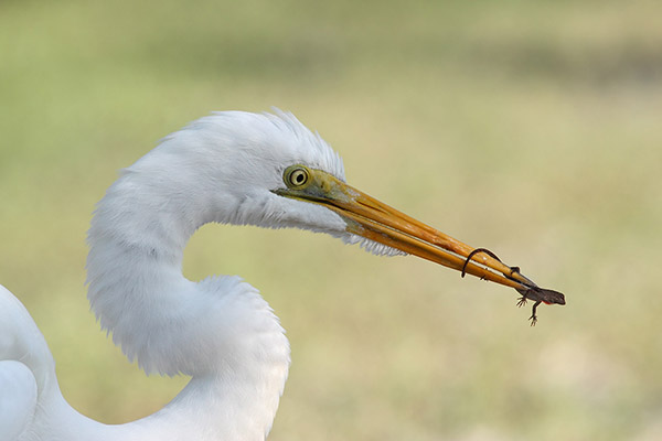 Great Egret with Brown Anole