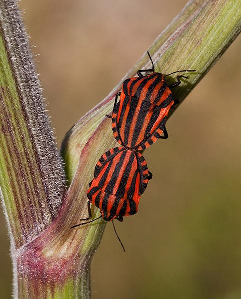 Minstrel Bugs 1