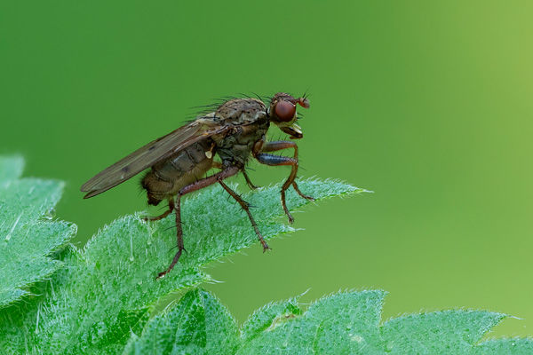 Dung Fly Female