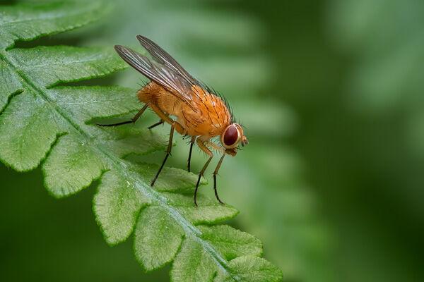 Female Orange Muscid Fly
