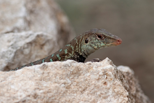 Griswold's Ameiva