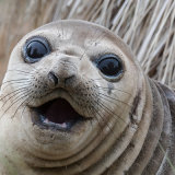 0719-Elephant Seal 1