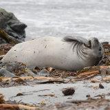 0720-Elephant Seal 3