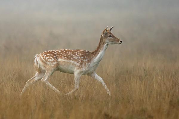 Fallow Deer 6