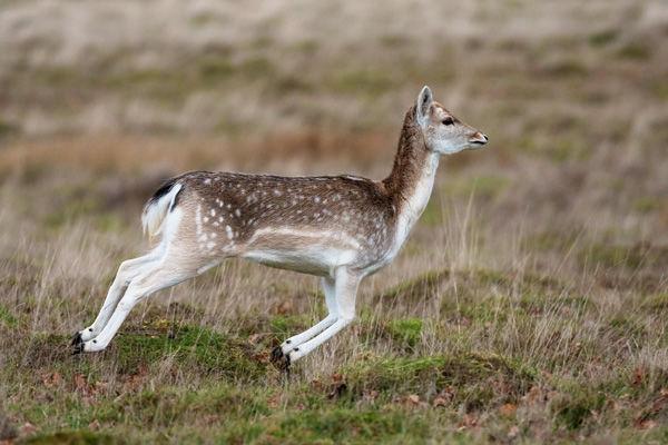 0729-Fallow Deer 7