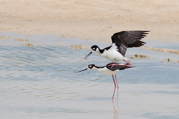 Black-Necked Stilt 2