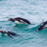 Gentoo Penguin 2