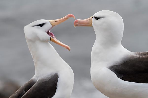 Black-Browed Albatross 2