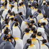 King Penguin 2