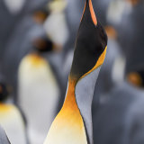King Penguin 3