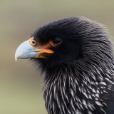 Striated Caracara 2