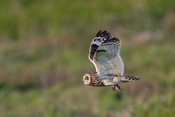 Short-Eared Owl 5