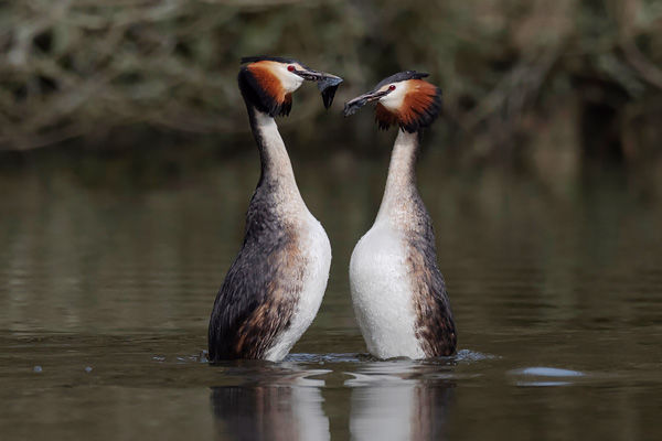 Great Crested Grebe 2