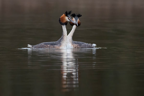 Great-Crested Grebe 3