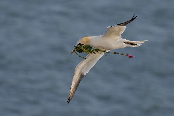 Gannet 3
