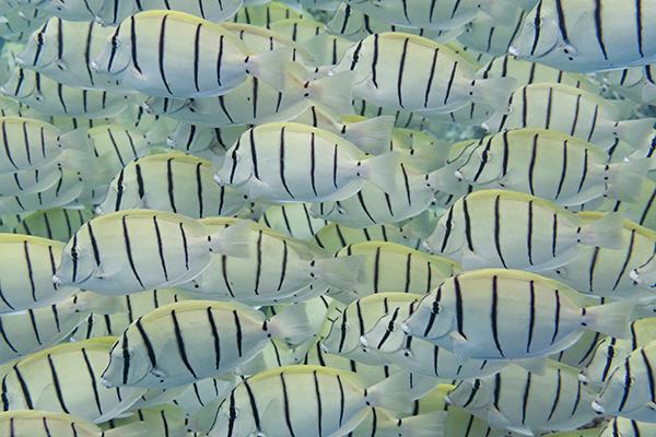 Convict Surgeonfish
