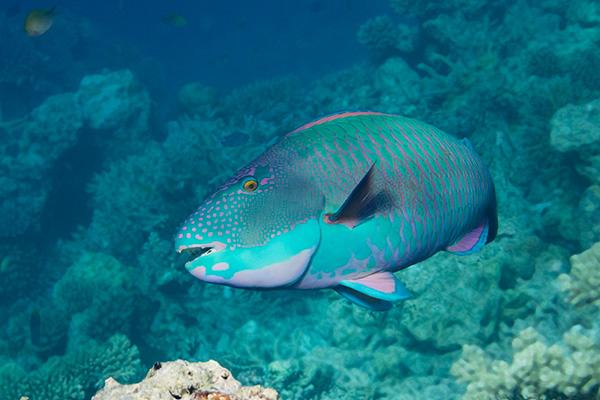 Two Colour Parrotfish