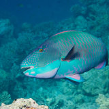 Two Colour Parrotfish