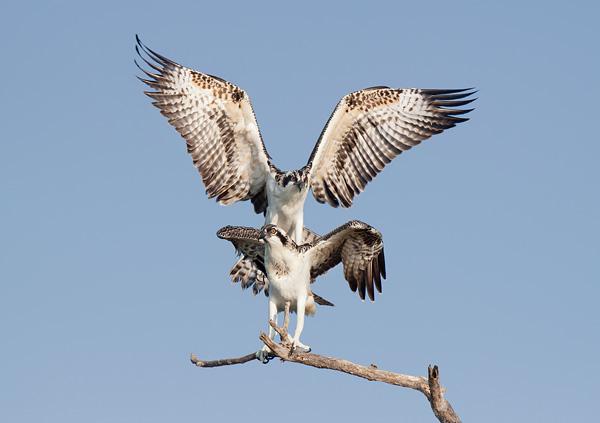 Juvenile Ospreys Simulating Mating