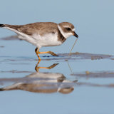 Semipalmated Plover with Worm