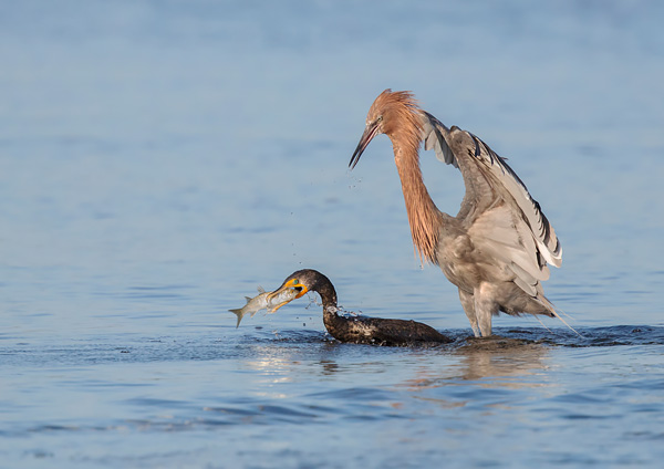 Reddish Egret Pursuing Double-Crested Cormorant