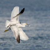 Snowy Egret Bullied by Laughing Gull