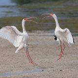 Squabbling White Ibis