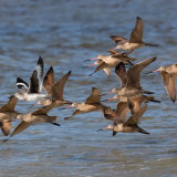Flock of Marbled Godwit with Willet