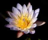 African Water Lily