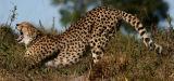 Cheetah aerobics